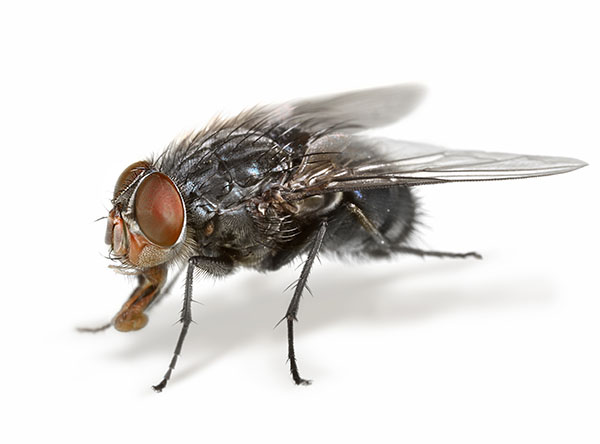 House Flies Control Services in Bangladesh