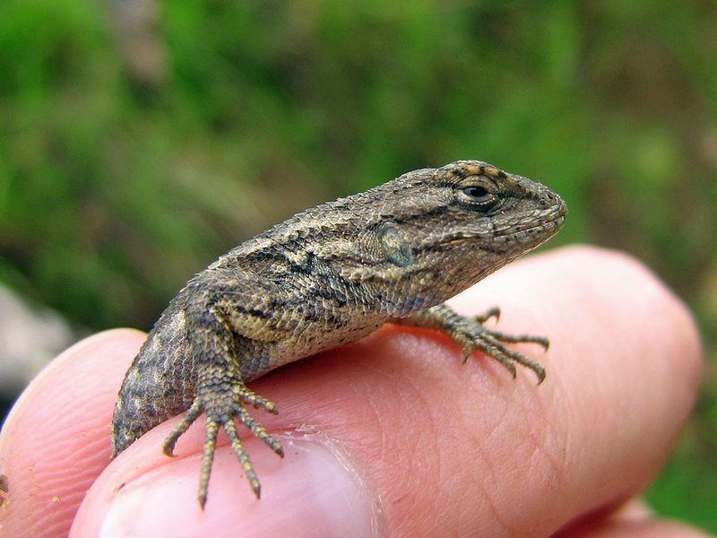 Lizards Control Services in Bangladesh